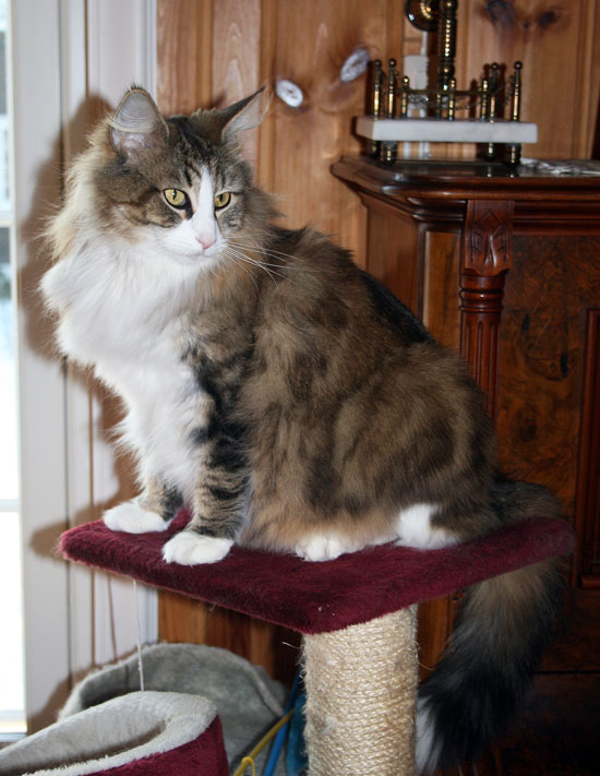 Norwegian Forest Cat Rescue Pa